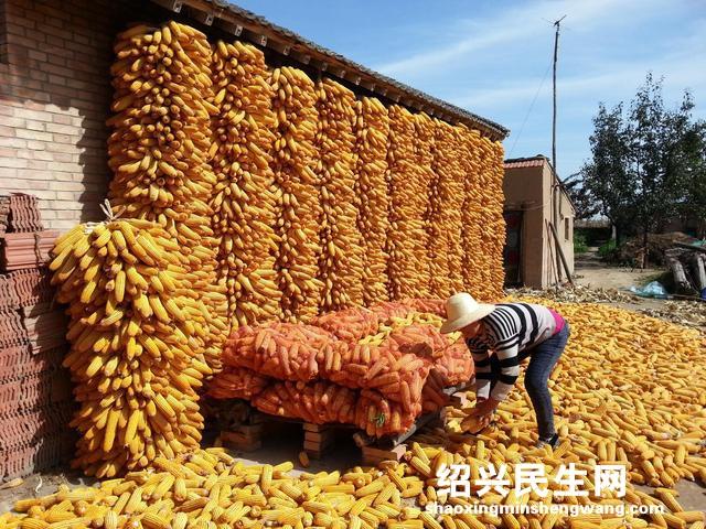 春节前夕玉米收购量反超去年同期 市场价格不再下跌